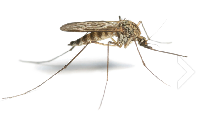 mosquito-png18166.png